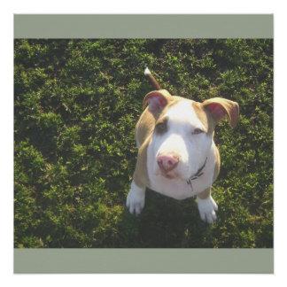 Póster terrier de PitBull del americano que mira para