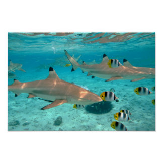 Póster Tiburones en el poster de la laguna de Bora Bora