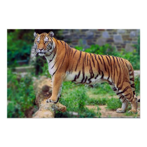 Póster Tigre de Bengala