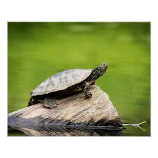 Póster tortuga pintada 20x16 en un registro