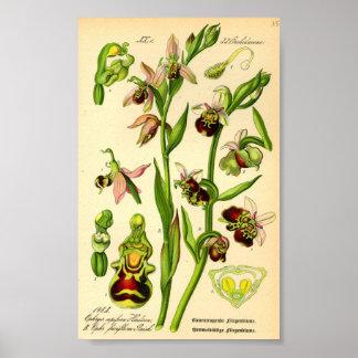 Póster Última orquídea de araña (fuciflora del Ophrys)
