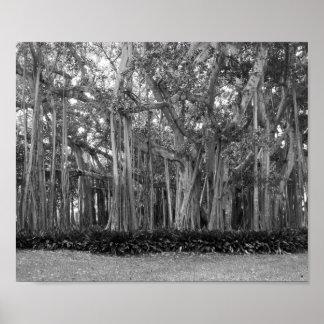 Póster Una fotografía blanco y negro de banianos
