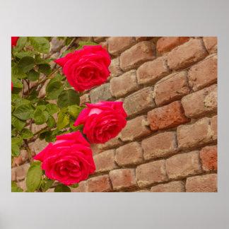 Póster una subida de los rosas en un poster de la pared