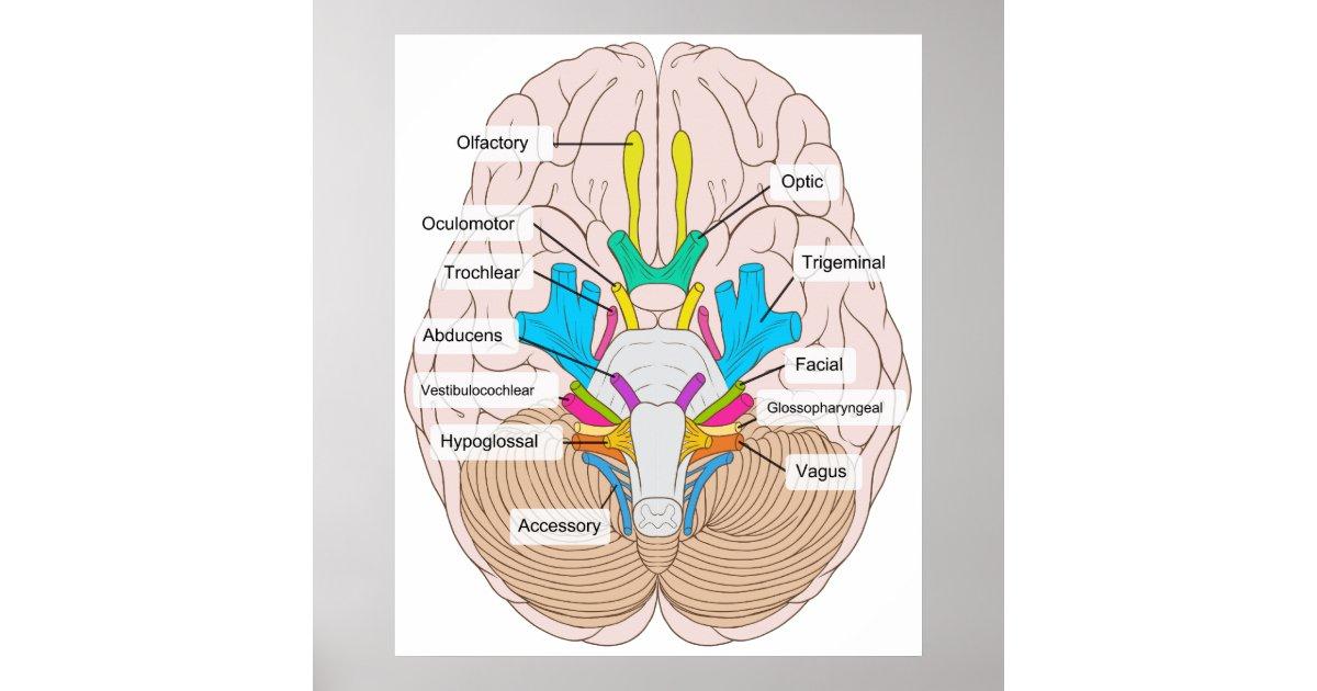 Póster Vista inferior de nervios craneales en el cerebro | Zazzle.es