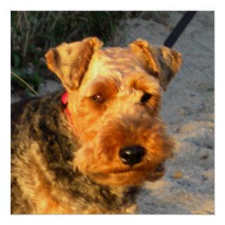 Póster Welch_Terrier