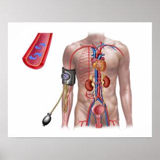 Presión arterial y sistema circulatorio poster