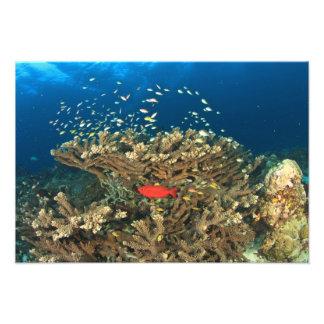 Priacántido que oculta bajo coral duro, isla de Ka Fotografía