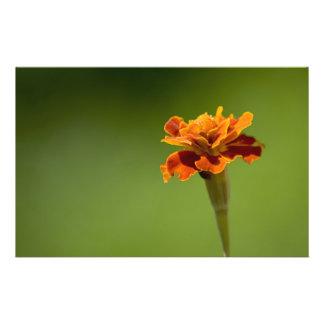 Primer de la flor de la maravilla flyer personalizado