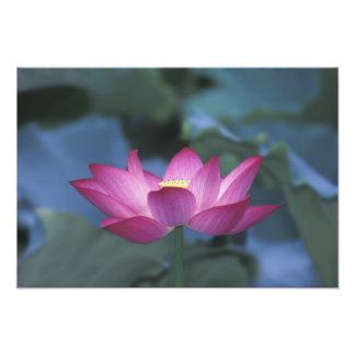 Primer de la flor de loto roja y de hojas verdes, impresión fotográfica