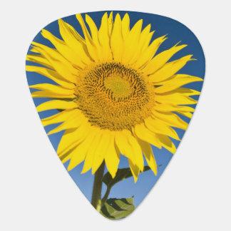 Púa De Guitarra Francia, Provence, Valensole. Soporte de los