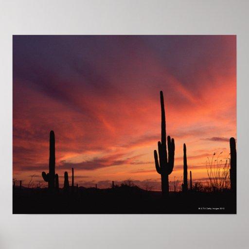Puesta del sol de arizona sobre los cactus del sag - Informacion sobre los cactus ...