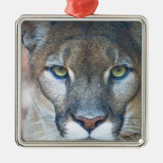 Puma, león de montaña, pantera de la Florida, puma Adorno Cuadrado Plateado