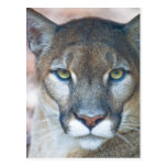 Puma, león de montaña, pantera de la Florida, puma Tarjeta Postal