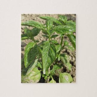 Puzzle Escoja la planta fresca de la albahaca que crece