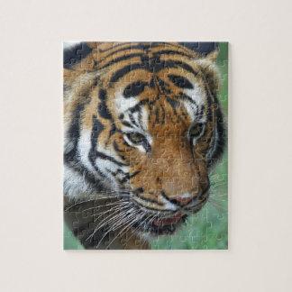 Puzzle Primer del tigre del Malay de los alquileres