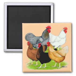 quinteto Sexo-ligado de los pollos Iman