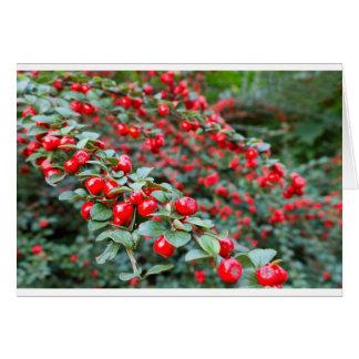 Ramas con las bayas rojas maduras del cotoneaster tarjeta