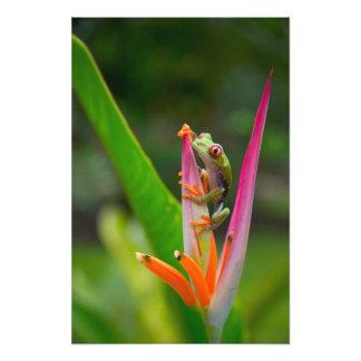 rana arbórea del Rojo-ojo, Costa Rica 2 Fotografia