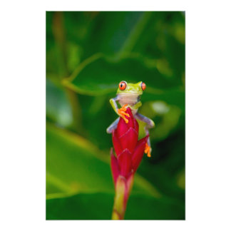 rana arbórea del Rojo-ojo, Costa Rica Arte Fotográfico