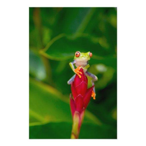 rana arbórea del Rojo-ojo, Costa Rica Fotografias