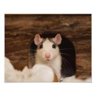 Rata linda foto