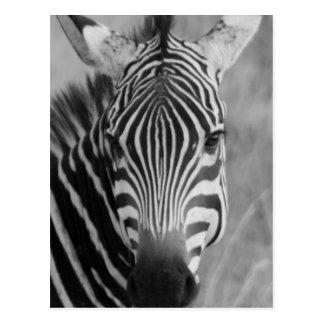 Rayas con clase africanas lindas del safari de la postal
