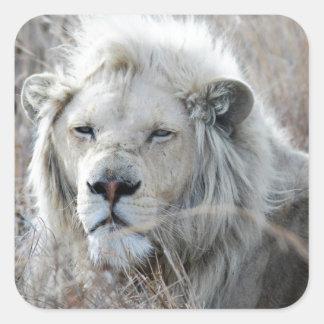 Reclinación blanca africana del león pegatina cuadrada