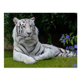 Reclinación hermosa blanca del gato de tigre de postal