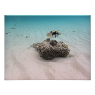 Recuerdo azul colorido del Triggerfish del océano Póster