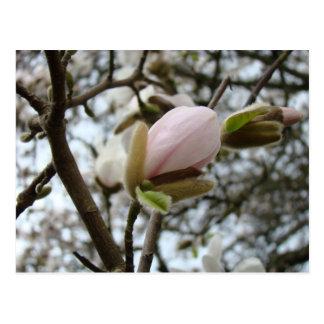 Regalos del día de madres 19 flores de la magnolia tarjeta postal