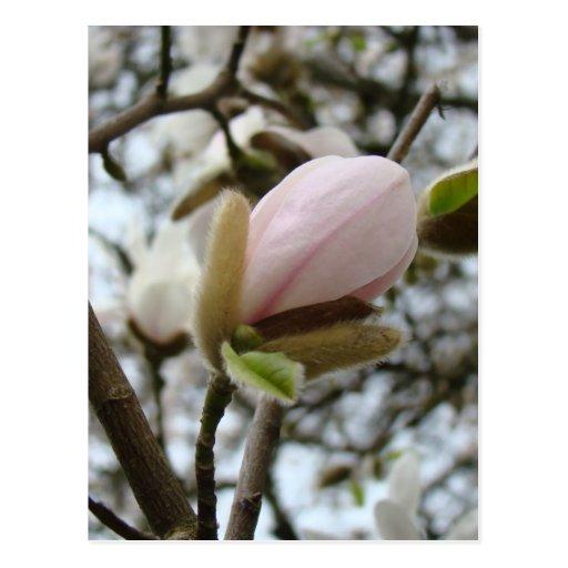 Regalos del día de madres 19 flores de la magnolia postales