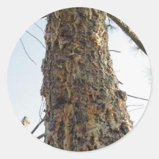 Resina del árbol de pino en el tronco pegatina redonda