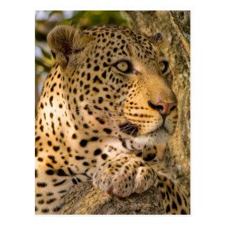 Restos adultos del leopardo (Panthera Pardus) Postal