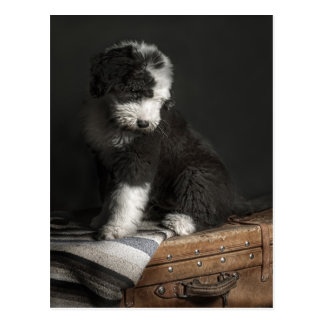 Retrato Bobtail del perrito en estudio Tarjeta Postal