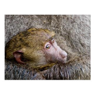 Retrato de un babuino verde oliva del bebé (Papio Postal