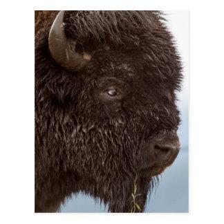 Retrato de un bisonte Bull en la lluvia 2 Postal