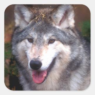 Retrato de un lobo gris pegatina cuadrada