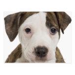 Retrato de un perrito del pitbull postal
