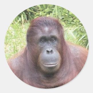 Retrato del orangután pegatina redonda