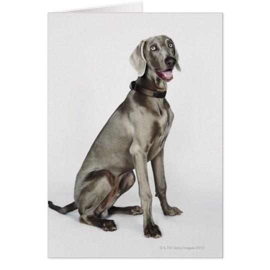 Retrato del perro de Weimaraner Tarjeta De Felicitación