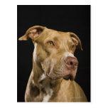 Retrato del pitbull rojo de la nariz con negro postal