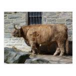 Retrato escocés del ganado de la montaña tarjetas postales