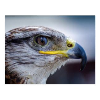 Retrato hermoso del halcón postales