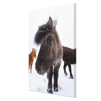 Retrato islandés del caballo, Islandia Lienzo