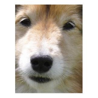 Retrato lindo del perro pastor de Shetland Postales