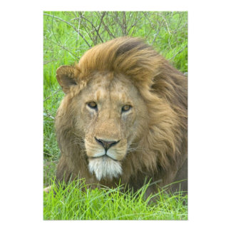 Retrato masculino del león, la África del Este, Ta Fotografias