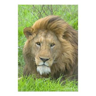 Retrato masculino del león, la África del Este, Ta Fotografías