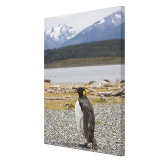 Rey pingüino, Isla Martillo, Tierra del Fuego Impresión En Lienzo