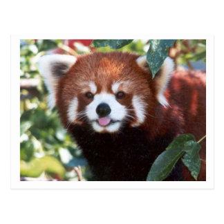 Risa de la panda roja postal