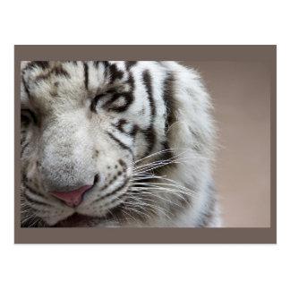 Risa del tigre blanco postal